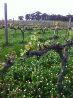 Flowers in the Alea Vineyard