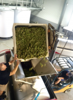 Whole bunch pressing hand picked Polish Hill riesling- Feb 15th 2016