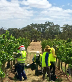 Handpicking Grosset Polish Hill Vineyard - Feb 14th 2016