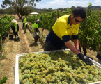 Polish Hill riesling harvest begins Feb 14th 2016